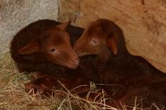 agneaux-solognots