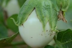 aubergine-Oeuf-Blanc