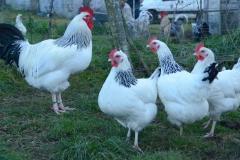 poules-Bourbonnaises
