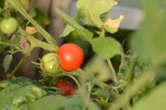 tomate-Odessa