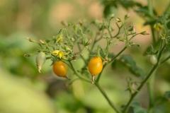 tomate-Zluta-Kytis