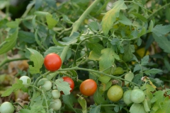 tomate-cerise-rouge