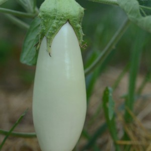 aubergine Dourga