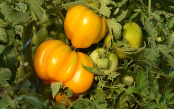 tomate Jaune a farcir