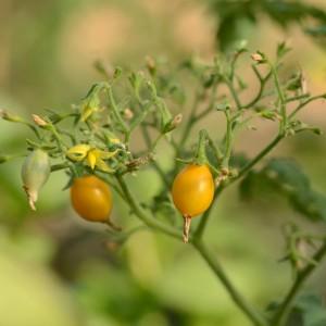 tomate Zluta Kytis