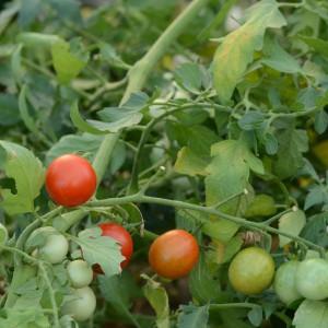 tomate cerise rouge