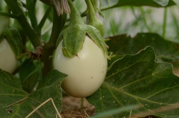 aubergine-Oeuf_Blanc