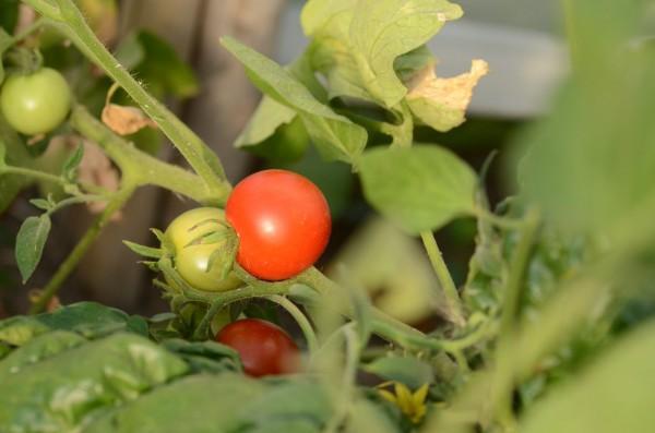 tomate Odessa